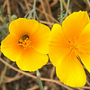 Bee with pollen on California poppy