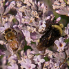 Bumblebee and honeybee on Lavender, JCMG Demonstration Gardens