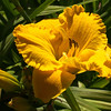 'Bill Norris' Daylily, JCMG Demonstration Gardens
