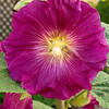 Hollyhock, JCMG Demonstration Gardens