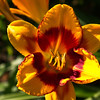 'Fooled Me' Daylily, JCMG Demonstration Gardens