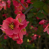Common Flowering Quince  Chaenomeles speciosa