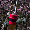 Spotted wing Drosophila trap in blackberries