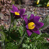 Pasque Flower - Pulstilla vulgaris