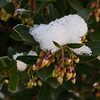 Strawberry Tree (Arbutus) in the Snow at SOREC
