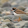 semipalmated plover sooke bc