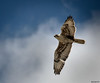 Ferruginous Hawk 4-19-13