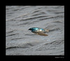 Tree Swallow 4-19-13