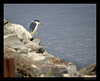 Black-night Heron