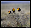 Yellow-headed Blackbird 4-22-13
