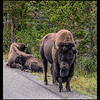 This family of Bison is near the road inside Yellowstone.