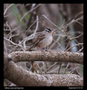 White-crowned Sparrow -banded