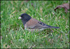Dark-eyed Junco -SF-GGPark logcabin 1-30-13