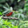 Silvered-beaked Tanager 6-26-12