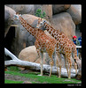 Reticulated Giraffe 7-16-05