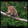 Eric (Red-fronted Lemur-25 years old)Eulemur rufifrons