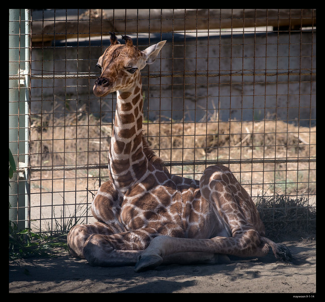 6 days old baby boy giraffe
