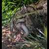 Fishing cat having Sushi