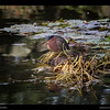 Green Heron @ Eagle Island 12-21-14