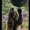 Grizzly through a glass 7-8-14