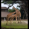 Young female reticulated Giraffe-Erin 11 Months-Eve 2 yrs-Baby -2 Months