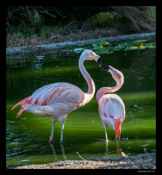 mating ritural Chilean Flamingo