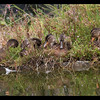 Mallards born 8-4-14 are now 6 weeks old.