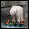 Polar Bear having a Salad treat 7-13-14