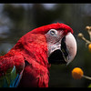 Green Winged Macaw-moved to Puente al Sur from Tropical Rain Forest