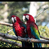 Green Winged Macaws-moved to Puente al Sur from Tropical Rain Forest