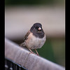 Dark-eyed Junco 4-3-14