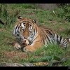 Male Amur Tiger 2-20-14