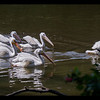 Two new American White Pelicans