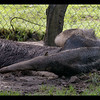 Giant Ant Eater rolling in the mud after a rain storm