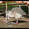 4 month old Chilean Flamingo with a Pinik Bill