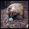 Brown-Nosed Coati sniffing a scented tennis ball.