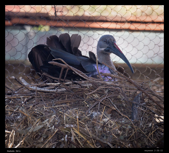 Hadada Ibis sitting on 4 eggs according to a young zoo keeper.