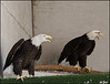 Breeding pair of Bald Eagle-used for breeding 1-27-13
