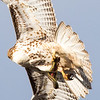 Red-tailed Hawk with bull snake