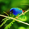 Tricolored Parrot Finch