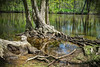 Tree roots along the Grand River in Delta Township Michigan - Spring 2013.