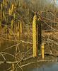 Hazel (or tag or smooth) alder (<I>Alnus serrulata</I>) catkins along Rivanna Reservoir Ivy Creek Natural Area, Charlottesville, VA