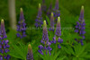Lupine on Forest Edge