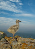 Lake County, MN, Baby Seagull on Cliff above Lake Superior