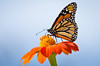 Tithonia (Mexican Sunflower) is a butterfly magnet in the Sensory Garden---Arb-2046