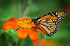 Tithonia (Mexican Sunflower) is a butterfly magnet in the Sensory Garden---Arb-2047
