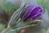 Emerging Purple Pasque Flower---Arb-2056