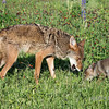 Female coyote and pup on an interesting smell, near Sandstone, MN
