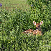 Big eyed, big eared fawn, near Sandstone, MN (best larger)