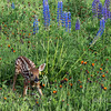 Fawn on its knees in a wildflower meadow, near Sandstone, MN
